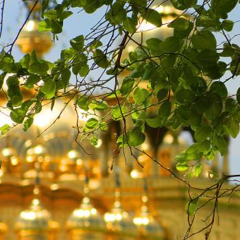 800px-One_the_three_holy_trees_of_Harmandir_Sahib